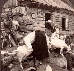 Goat milking    Google Image Result for http://www.waldeneffect.org/lisbeth11.jpg