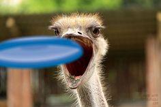 Bird Catcher #ostrich #ostriches #frisbee #photocrash #photocrashapp
