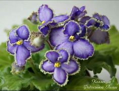Ан - Копеечка #комнатнвецветы#продаюцветы#фиалкисортовые#сенполии#цветы