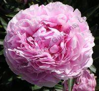 """Peony """"Sarah Bernhardt"""" one of my favorite flowers"""