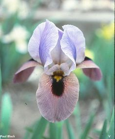 Big Black Bumblebee