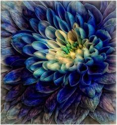 blue dahlia (tattoo color ideas)