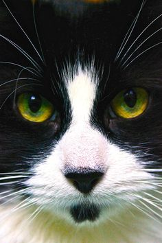 Handsome tuxedo kitten with a soul patch and looks like Frank Zappa.