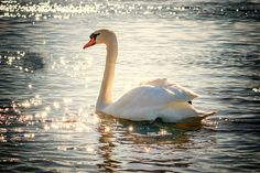 What does it mean when you dream of swans swimming? Did you hunt swans in your dreams? Read a dream dictionary to interpret the meaning of flying swan in your nightmare.