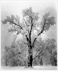 Oak Tree, Snowstorm Yosemite National Park, California 1948 by Ansel Adams by Plum leaves, via Flickr