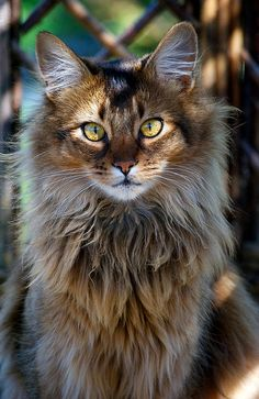 cat breeds Norwegian Forest Cat The Norwegian Forest cat (Norwegian: Norsk skogkatt or Norsk skaukatt) is a breed of domestic cat originating in Northern Europe. This natural breed is adapt Gatos Maine Coon, Maine Coon Cats, Pretty Cats, Beautiful Cats, Pretty Kitty, Simply Beautiful, Cute Kittens, Cats And Kittens, Ragdoll Kittens