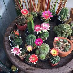 Shop online for all your Cactus and Succulent must haves. Our selection of decorative planters will help you add plenty of personality to your space. Mini Cactus Garden, Vertical Garden Plants, Indoor Water Garden, Cacti And Succulents, Planting Succulents, Cactus Plants, Cactus Art, Cactus Flower, Cactus Y Suculentas