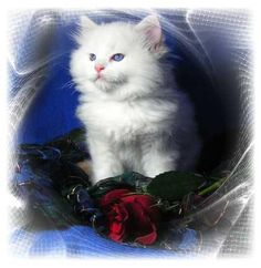 Our Red/Flame Bi-color Ragdoll Male, Chester www.houseofstewardragdolls.com/Kittens.htm