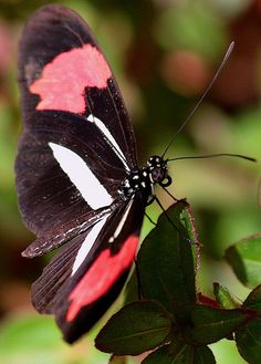 Heliconius Herato Phyllis Butterfly Kisses, Butterfly Flowers, Beautiful Butterflies, Beautiful Birds, Butterflies And Hurricanes, Flying Flowers, Moth Caterpillar, Butterfly Crafts, Pet Birds