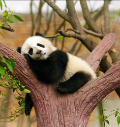 CUTE SLEEPING GIANT PANDA BABY: Different spices of animals: visit our animal pages to learn about their behaviors, needs and more. #giantpandababy