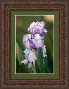 Nature Framed Print featuring the photograph Purple Striped Bearded Iris 2 by Sheila Brown