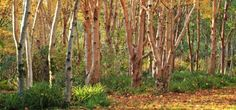 cedric pollet view of betula ermanii Stone Lane Gardens, Chagford