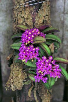 Shoenorchis fragrans,terrarium orchid,orchid species, plant .