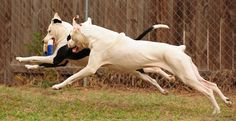 Flying dogs!