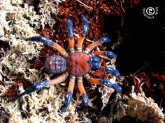 TRAP DOOR SPIDER Liphistius desultor ©Andrew Ang Liphistius is a genus of basal trapdoor spiders in the family Liphistiidae. The Liphistius desultor is found in Malaysia.Liphistius is from the Greek Leipo (lacking) and stios (equality)…which is...