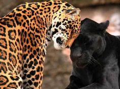 Jaguar love.