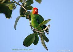 Red-headed Lovebird