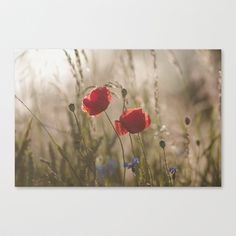 Poppy in sunrise my world Stretched Canvas by Tanja Riedel - $85.00