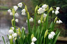Leucojum bulbs for sale online Giant Flowers, Bulb Flowers, Pretty Flowers, Spring Bulbs, Spring Blooms, Planting Bulbs, Planting Flowers, Bog Garden, Natural Pond