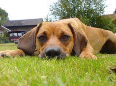 Tyrolean Hound / Tiroler Bracke #Dogs #Puppy