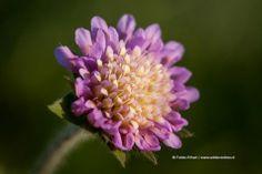 Beemdkroon (foto: Fokko Erhart) Knautia arvensis