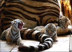 Siberian Tiger cubs ~ from a S T Park in Harbin, in north-east China, they expect a large number of cubs to be born. ~ such tiny sweetness ~ look at the adults tail in comparison to their size. :)