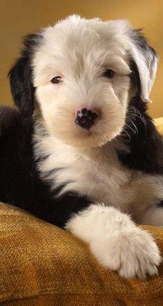 Old English sheepdog pup