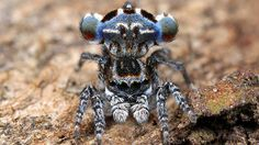 Two new, super cute species of peacock spider discovered in Queensland - 9news.com.au