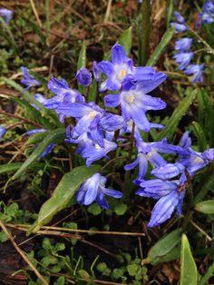 Blomster fra min barndomshave Skilla