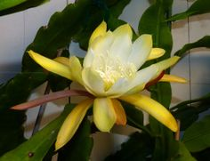 Epiphyllum Cookie | Flickr - Photo Sharing!