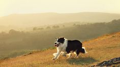 A gorgeous shot of a beautiful Border Collie, Barney, in Wales.
