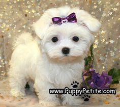 Puppy Petite Puppies For Sale White Puppies, Tiny Puppies, Puppies And Kitties, Puppies For Sale, Havanese Puppies, Teacup Puppies, Maltese Dogs, Teacup Maltese, Maltipoo