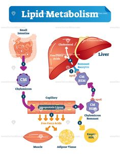 biology infographic Lipid metabolism biol - biology Biology Classroom, Teaching Biology, Biochemistry Notes, Fatty Liver Treatment, Medical Laboratory Science, Biology Lessons, Human Anatomy And Physiology, Medical Anatomy, Human Body