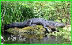 jenis reptil buaya, binatang reptil buaya, makalah reptil buaya, klasifikasi reptil buaya, foto reptil buaya, klasifikasi hewan reptil buaya, reptil buaya, hewan reptil buaya, pengertian reptil buaya, ciri ciri reptil buaya, buaya termasuk reptil atau amfibi, buaya termasuk reptil