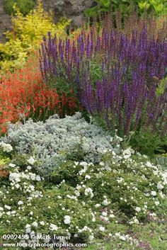 Pineleaf Penstemon, 'May Night' Salvia', 'Seafoam' groundcover rose; Golden Barberry soft bkgnd [Penstemon pinifolius; Salvia x sylvestris 'May Night'; Rosa 'Seafoam'; Berberis thunbergii 'Aurea'].