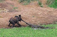 ALTERNATES/s615/elephant-and-crocodile-pic-solent-342344179.jpg