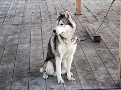 Siberian Husky Dogs The 5 Key Principles of Husky Training - Teach your husky that he or she can trust you to be in charge. Maintain consistent boundaries and rules. Keep him or her calm during crate training and while getting ready for a walk. Alaskan Husky, Alaskan Malamute, Training Your Puppy, Dog Training Tips, Crate Training, Potty Training, Training School, Training Schedule, Husky Mix