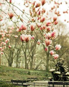 Spring Flower Blossoms in Central Park Pastel Pink by Raceytay