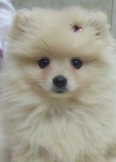 Pomeranian: Does Your Dog Measure Up and Does It Matter? Pomeranian Breed, Cute Pomeranian, Pomeranians, Pomsky Puppies, Teacup Puppies, Cute Puppies, Cute Dogs, Dogs And Puppies, Doggies