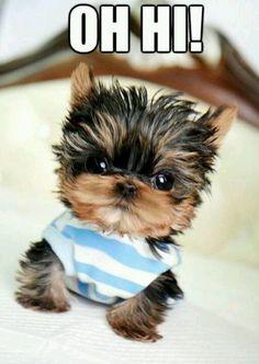 Haha! Yorkie puppy