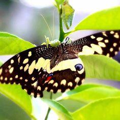 🦋☘️#latepost  Using Canon EOS M2 with macrolens EF 100mm/2.8 USM #naturephoto #nature_shooters #natureaddict #natureshots #nature #butterfly #macro #macrophotography #macro_perfection #macroclique #macroworld_tr #macro_captures #macro_brilliance #macromood #macro_freaks #macro_champ #macro_celebes #photographer #photography #photoshoot #photoart #bokeh #macro_freaks #insect #insects_of_our_world #insects #photography #photoshare_everything #photooftheday #butterfly #bokeh #boke