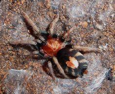philippine dwarf tarantula - Google Search