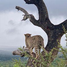 Scouting for dinner Scouting, Cheetah, Panther, Giraffe, Dinner, Animals, Photos, Dining, Felt Giraffe