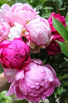 thoughts of Spring...peony