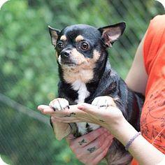 New Martinsville, WV - Chihuahua Mix. Meet Token, a dog for adoption. http://www.adoptapet.com/pet/11454097-new-martinsville-west-virginia-chihuahua-mix