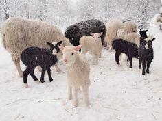 White and black sheep