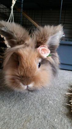 My lion head rabbit with her flower - Imgur