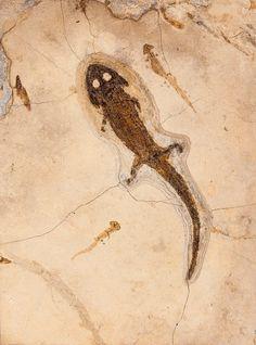 Fossil Amphibian with Larvae Sclerocephalus hauseri Permian Odernheim Pfatz, Germany