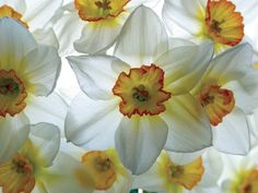 Narcissus - December Birth Flower for our Christmas angel. I want ...