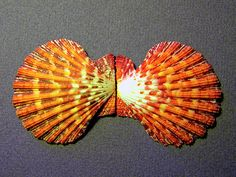 Royal Cloak Scallop Seashell by Frank Wilson.  This Royal Cloak Scallop Seashell, Cryptopecten pallium, was collected from a Luzon, Philippine Island in 1966. This specimen is two and a half inches closed.